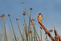 Marsh song (Adam Wang) Tags: bird marsh wren tweet nature wildlife ionabeach
