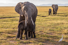 A Mother's Love (Jill Clardy) Tags: africa amboseli animal elephant kenya location mammal nationalpark tanzania vantagetravel baby calf safari kajiado riftvalleyprovince 201902189l8a7841 mother hug hugging nurture nurturing