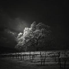Kenwood Winery (nlwirth) Tags: nlwirth yup oak tree grapes trellis light sonomacounty california infrared ir blackandwhite clouds