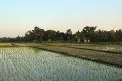 Paddy Field, Ubud