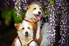 Two of Us (moaan) Tags: hyogo japan tanba dog jackrussellterrier kinoko ccino friend smile withasmile flower flowering wisteria hellofromwisteria focusonforeground selectivefocus dof bokeh bokehphotography leica leicamp type240 noctilux 50mm f10 noctilux50mmf10 leicanoctilux50mmf10 utata 2019