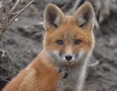 Red Fox Kit (Arvo Poolar) Tags: outdoors ontario canada scarborough arvopoolar redfox kits forest nature naturallight natural naturephotography nikond500 wildlife wildlifephotographer animal wild