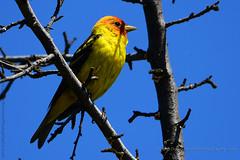 Western_Tanager_12 (DonBantumPhotography.com) Tags: wildlife nature animals birds westerntanager yellowbird blueskies tree yellowbirdwithredhead donbantumphotographycom donbantumcom