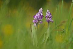 In meinem Traum (KaAuenwasser) Tags: knabenkraut orchidee blume blüte blüten natur pflanze naturschutzgebiet wiese wildkräuter makro nah bunt farben bokeh wild frei frühling feuchtwiese selten geschützt mai 2019