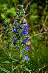 Au jardin ou dans la nature (Ariège) (PierreG_09) Tags: seix ariège pyrénées pirineos couserans occitanie midipyrénées flor flore fleur plante vipérine vipérinecommune echiumvulgare boraginacée