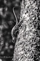 Dancing Dinosaur (Scott Sanford Photography) Tags: 80d canon ef14xiii ef100400mmf4556lii eos naturallight nature outdoor texas topazlabs wildlife animals lizard reptile bw blackandwhite monochrome
