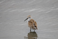 Look at my feathers! (Jonah P) Tags: nature photography canon rebel t6i environment marsh ocean atlanticocean new jersey park state blue green brown beautiful forest rain dunlin breeding adult shorebirds shore beach