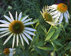 White cone flowers (thebettyfrondclinic) Tags: gardening texas dallas blooms plants sunset garden coneflowers white flowers