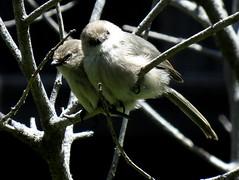 Bushtits, Inglewood, Ca. (stonebird) Tags: bushtit psaltriparusminimus inglewood ca img9608