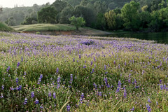Lake Folsom California in Spring (alanmeyer.california) Tags: lakefolsom california lake water wildflowers lupin purple green blue trees hills grass picturesque beautiful scenic dreamy