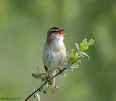 Sedge Warbler (Georgiegirl2015) Tags: sedgewarbler warbler bbcwales dellalackwildlifephotography ceredigion canon birds wales nature wildlife ef300mm sunny spring 2019 may2019