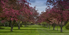 springtime serenity.jpg (remiklitsch) Tags: trees blossoming japanese cherry spring purple remiklitsch niagaralnikon landscape pink blossoms fruittrees ontario canada panoramic panorama color blue green