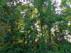 Wooded Backyard. (dccradio) Tags: lumberton nc northcarolina robesoncounty outdoor outdoors outside nature woods wooded forest tree trees sky may tuesday evening tuesdayevening goodevening leaf leaves foliage branch treebranch branches treebranches treelimb treelimbs sony cybershot dscw830 landscape