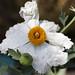 Matilija Poppy Flower