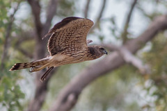 Spotted Harrier (steve happ) Tags: australia circusassimilis northernterritory spottedharrier victoriariver