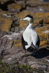 Eider Drake, Farne Islands, NT,Northumberland (Sueyork58) Tags: birds uk wildlife plumage northumberland springtime eiderdrake drake farneislands
