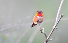Allen's Hummingbird (theviewfinder) Tags: nikon nikon300mmf4 d3s midhun midhunthomas midhunjohnthomas sanfrancisco california hummingbird allanshummingbird