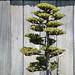 Bonsai Tree at Huntington Library & Botanical Gardens - Pasadena, CA