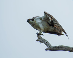 Osprey - (shottwokill) Tags: bolsachica marsh california morning overcase osprey birds wetlands nikon d5 nikkor 200500 overcast birdsofprey hunting nature wildlife