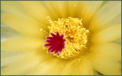 Cactus Flower (tdlucas5000) Tags: flower cactus cactusflowers flowercentermacro yellow yellowflowers macro closeup focusstack zerene d850 sigma105 california