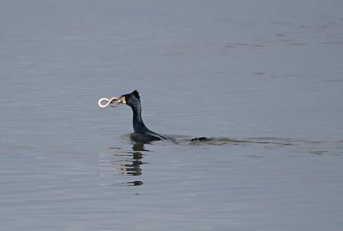 Great cormorant and eel 4