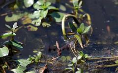 Slough Amberwing (on the wing) (zeesstof) Tags: zeesstof thewoodlands sterlingridge springtime suburban texas dragonfly sloughamberwing perithemisdomitia containmentpond nature naturewalk closetohome