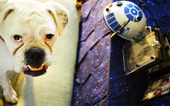 Etta's best Chewbacca impersonation (Busy,Busy,Bl.Mtns.Grandma) Tags: maytheforthbewithyou starwars chewbacca r2d2 stormtrooper disney ddogchal boxer dog millenniumfalcon pewter usb