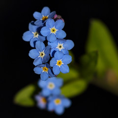 Tiny Bits Of Blue (AnyMotion) Tags: woodforgetmenot waldvergissmeinnicht myosotissylvatica forgetmenot vergissmeinnicht myosotis blossom blüte plants pflanzen 2019 anymotion nature natur blumen floral flowers frankfurt spring colours colors farben blue blau 7d2 canoneos7dmarkii square 1600x1600 frühling primavera printemps ngc npc