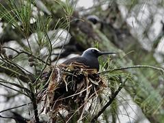Noddi Brun (Anous stolidus) 'oio (Faapuroa) Tags: polynesia polynésie tahiti nature oiseau bird anous stern noddi brun anousstolidus nikon p1000 coolpix