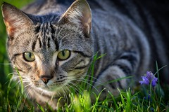 Spring Fever...the stalker. (Picture-Perfect Pixels) Tags: staring eyes male tabby domesticshorthair cat grass outdoors springtime stalking