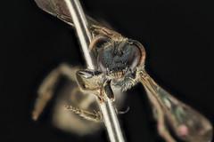 Lasioglossum oblongum, F, Face, WI, Eau Claire County_2014-03-07-13.03.02 ZS PMax (Sam Droege) Tags: zerenestacker stackshot geologicalsurvey unitedstatesgeologicalsurvey departmentoftheinterior droege biml beeinventoryandmonitoringlaboratory bug bugs canon closeup macro insect patuxentwildliferesearchcenter pwrc usgs dofstacking stacking entomologist canonmpe65 taxonomy:binomial=lasioglossumoblongum animals animal bee bees apoidea hymenoptera pollinator nativebee entomology macrophotography usinterior wisconsin