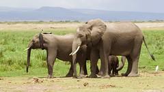 Protective family (Nagarjun) Tags: elephant amboselinationalpark safari kenya africa wildlife