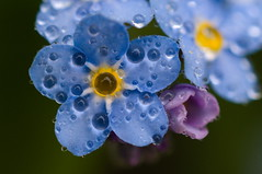 _DSC0244bc (miscelaha) Tags: forgetmenot flower blue garden dew drop spring