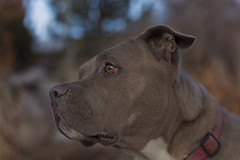 Molly (Cruzin Canines Photography) Tags: animal animals canon canoneos5ds canon5ds canine 5ds eos5ds dog dogs pet pets pitbull pit pitbullterrier terrier americanpitbullterrier molly outdoors outside nature naturallight portrait colorado coloradosprings