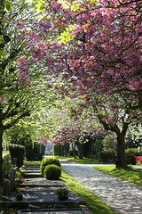 The Restingplace II (thor_thomsen) Tags: restingplace graveyard spring blossom pink white walkway tree foliage color sunshine beautiful stavanger norway