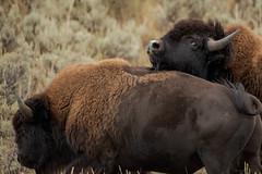 Tendresse (Samuel Raison) Tags: bison bisons buffalo buffalos wildlife nature wildlifephotography naturephotography yellowstone yellowstonenationalpark yellowstonewildlife nikon nikond800 nikon4600mmafsgvr animalplanet