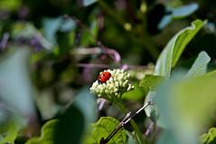 Marienkäfer (Coccinellidae) (dl1ydn) Tags: dl1ydn käfer bug marienkäfer garden nature manual manuell konica hexanon 40mmf18 bokeh nahaufnahmen ladybug nex6 apsc