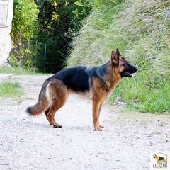 diva (Allevamento Casa Caligiani) Tags: pastoretedesco germanshepherd dog cane gsd schäferhund