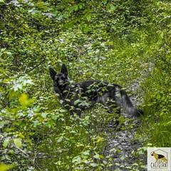 Green (Allevamento Casa Caligiani) Tags: schäferhund germanshepherd pastoretedesco dog cane gsd