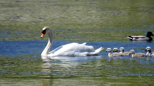 AP0402.DSCN0397.06 oiseau aquatique 03 (cygne famille cygneau-petit lac) Neuville