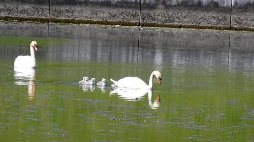 AP0402.DSCN0392.03 oiseau aquatique 01 (cygne couple famille cygneau-petit lac) Neuville