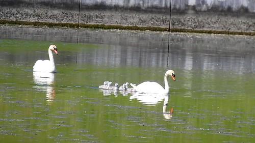 AP0402.DSCN0392.02 oiseau aquatique 01 (cygne couple famille cygneau-petit lac) Neuville