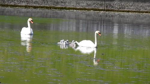 AP0402.DSCN0392.01 oiseau aquatique 01 (cygne couple famille cygneau-petit lac) Neuville