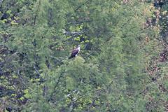 mttom2019-197 (gtxjimmy) Tags: nikond7500 nikon d7500 tamron 150600mm holyoke massachusetts newengland spring bird mttom osprey hawk fishhawk raptor birdofprey
