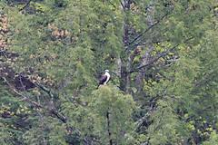 mttom2019-194 (gtxjimmy) Tags: nikond7500 nikon d7500 tamron 150600mm holyoke massachusetts newengland spring bird mttom osprey hawk fishhawk raptor birdofprey