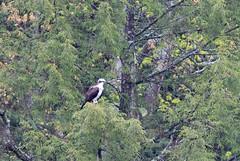 mttom2019-193 (gtxjimmy) Tags: nikond7500 nikon d7500 tamron 150600mm holyoke massachusetts newengland spring bird mttom osprey hawk fishhawk raptor birdofprey