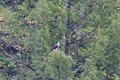 mttom2019-190 (gtxjimmy) Tags: nikond7500 nikon d7500 tamron 150600mm holyoke massachusetts newengland spring bird mttom osprey hawk fishhawk raptor birdofprey