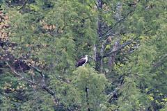mttom2019-178 (gtxjimmy) Tags: nikond7500 nikon d7500 tamron 150600mm holyoke massachusetts newengland spring bird mttom osprey hawk fishhawk raptor birdofprey