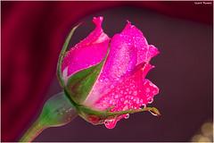 Drops on the rose. (Vicent Ramiro) Tags: macromondays fourelements flor flower rose rosa drops gotas raindrops