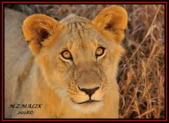 YOUNG SUB-ADULT MALE CUB (Panthera leo)  ......MASAI MARA......SEPT 2018. (M Z Malik) Tags: nikon d3x 200400mm14afs kenya africa safari wildlife masaimara keekoroklodge exoticafricanwildlife exoticafricancats flickrbigcats lioncubs leo lionking